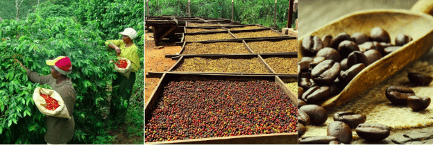 Processing Blue Mountain Coffee